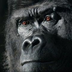 Djala - Contemporary British Art, Animal Photography, Gorilla, Monkey, Primate