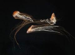 Japanese Sea Nettles III - Contemporary British Art, Photography, Underwater