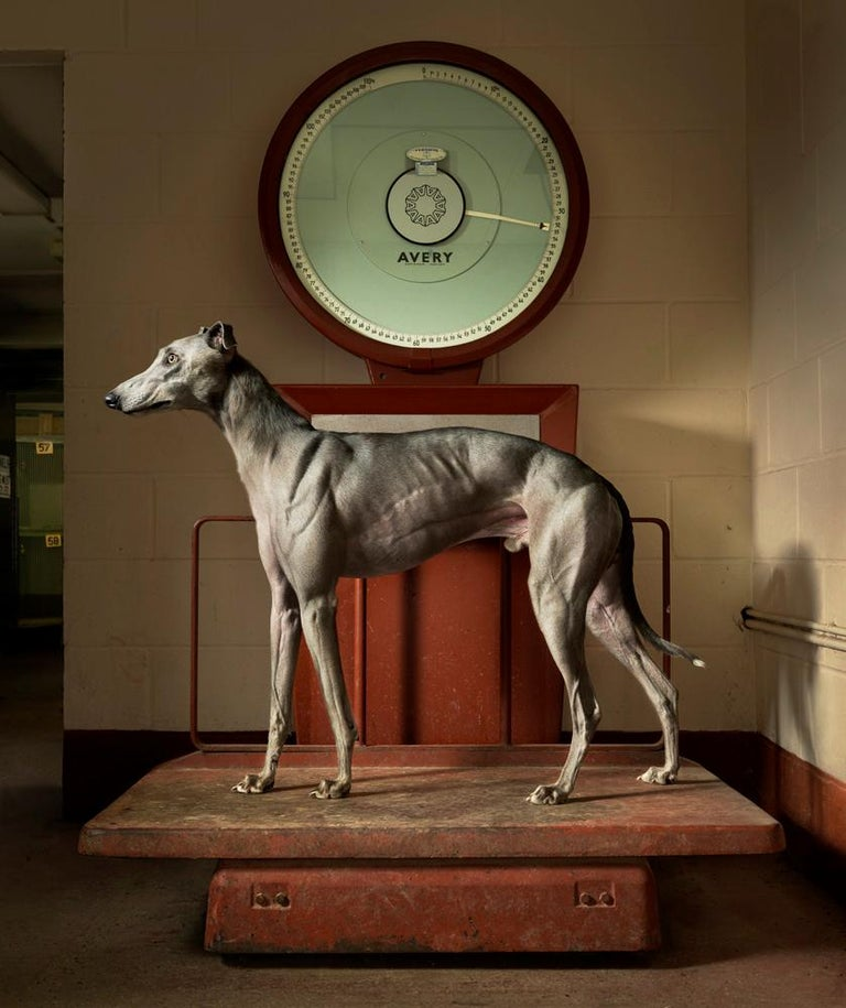 Tim Flach Portrait Photograph - Kinda Ready - Dogs, Portraiture, Indoors, Weight room, Weighing scales