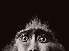 Monkey Eyes - Contemporary British Art, Animal Photography, Monkeys, Portrait