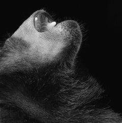 Monkey Laughing - Contemporary British Art, Animal Photography, Monkeys, Primate