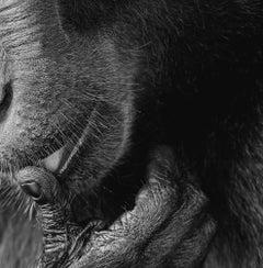 Monkey Licking - Contemporary British Art, Animal Photography, Monkeys, Dramatic