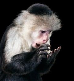 Rupee - Contemporary British Art, Animal Photography, Monkeys, Simian, Capucin