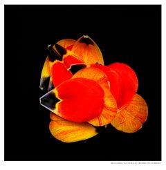 Forbes Tulip Petals