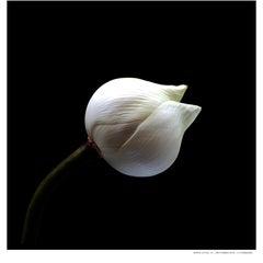 White Lotus_1