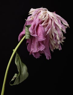Tim Nighswander, Peony #27, archival pigment print, floral still life, 2019