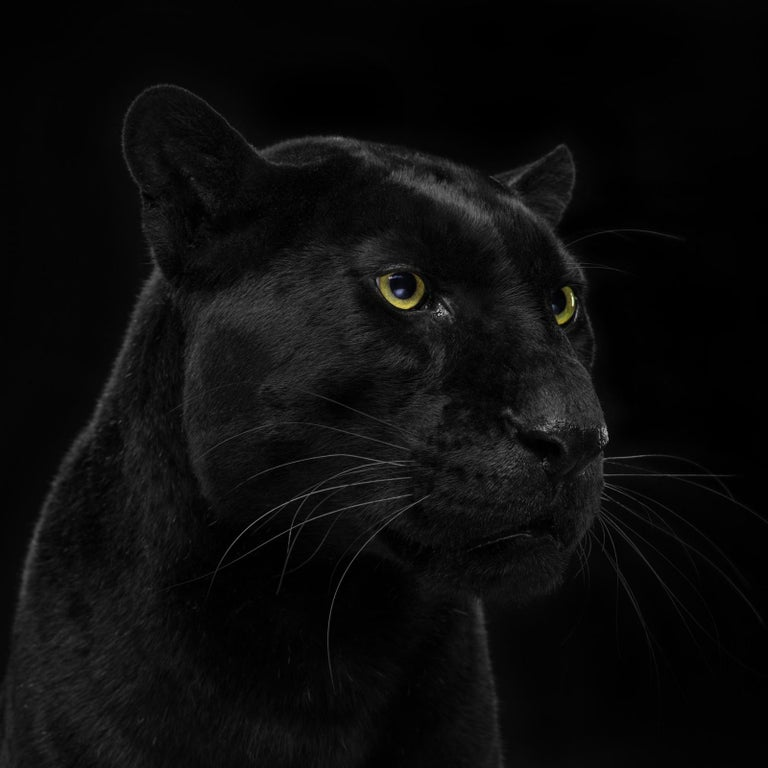 "Tim Platt Portrait Photograph - "" Leopard #1 "" -  Signed limited edition fine art print"