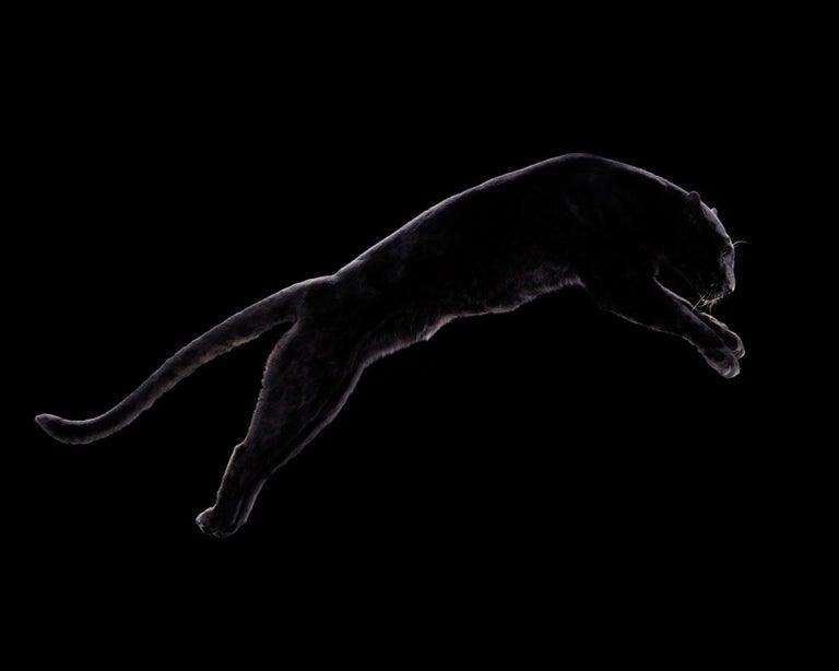 """Tim Platt Portrait Photograph - """" Leopard #3 """"- Signed limited edition fine art print ,black leopard, jaguar"""