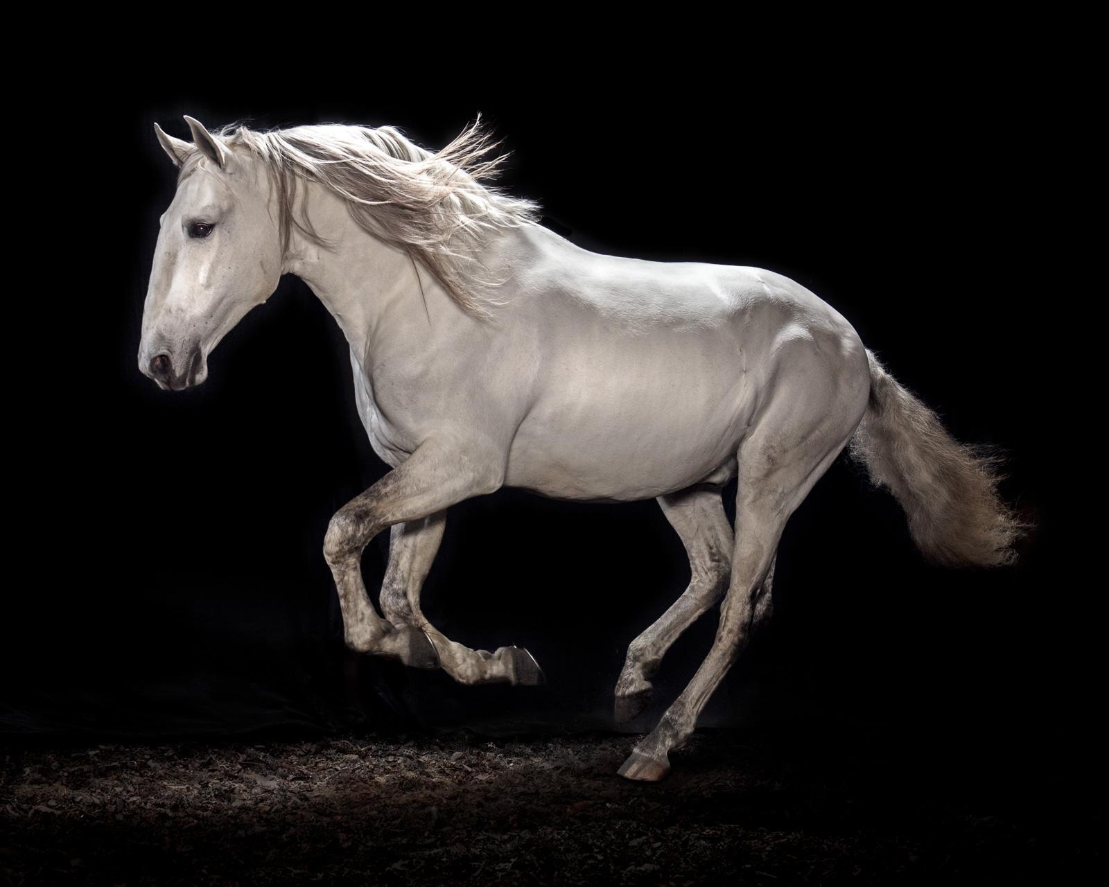 """""""Ehpico d' Atela"""" pure bred Lusitano stallion #2 - Signed limited edition print"""