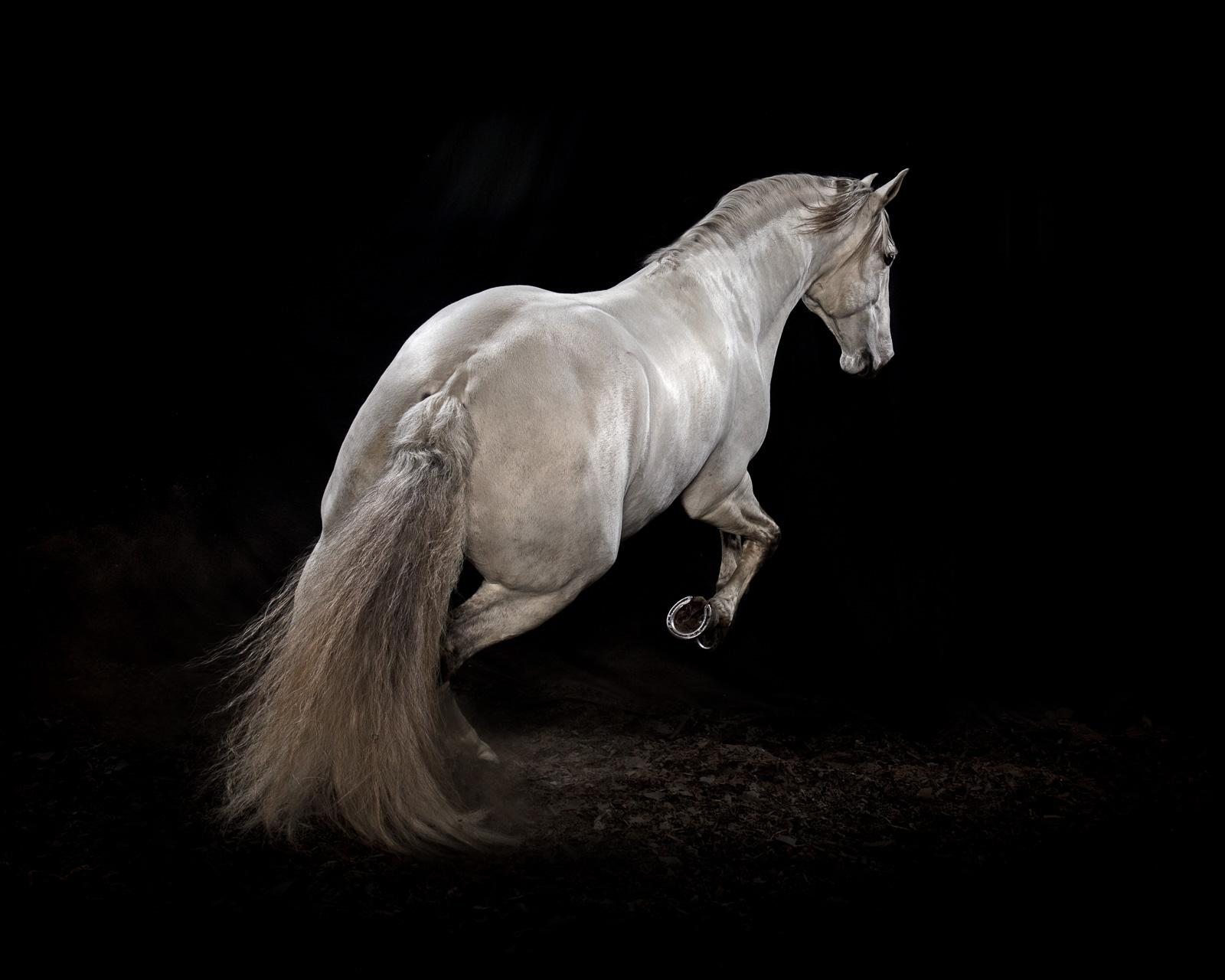 """""""Ehpico d' Atela"""" pure bred Lusitano stallion #3 - Signed limited edition print"""