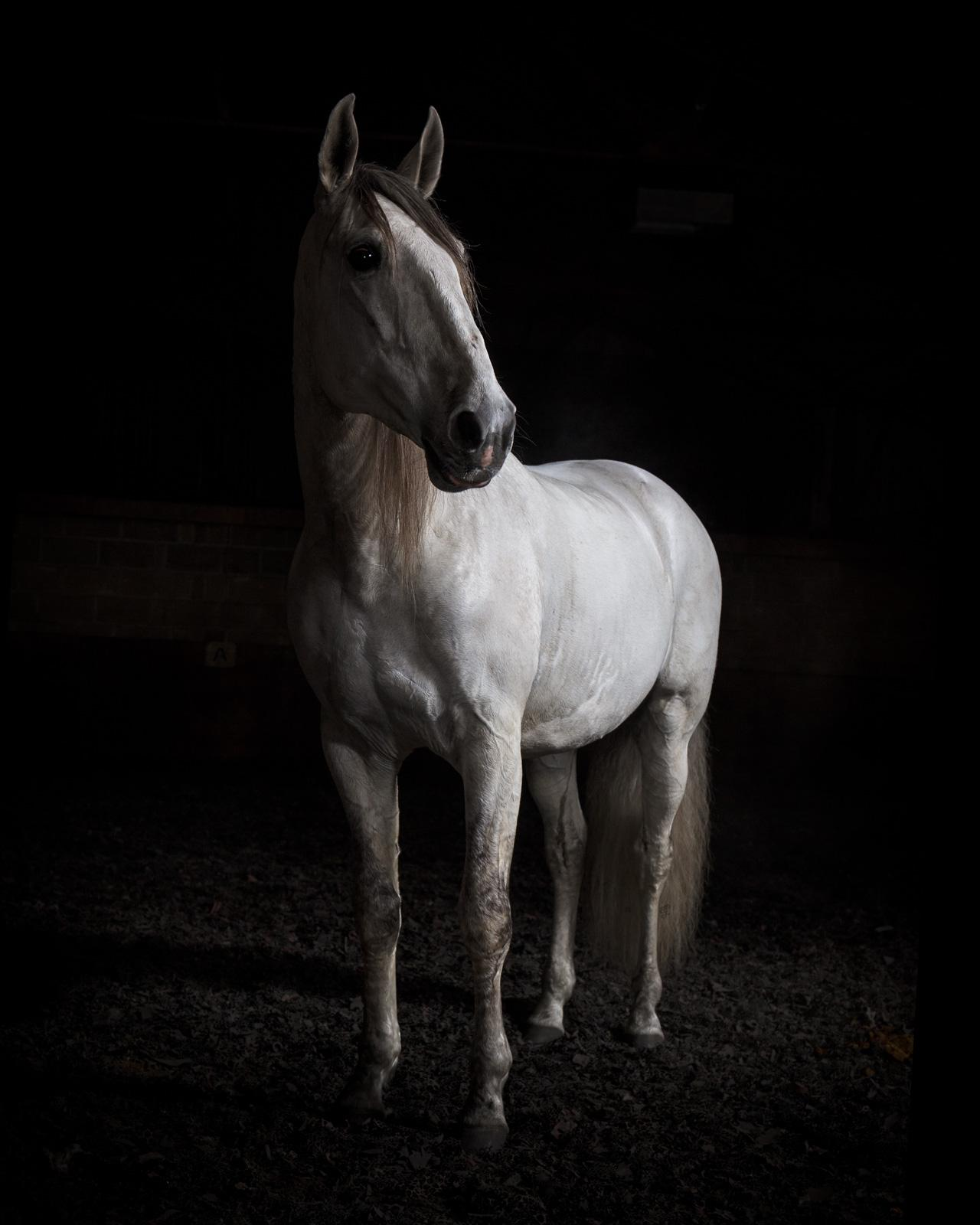 """""""Ehpico d' Atela"""" pure bred Lusitano stallion #4 - Signed limited edition print"""