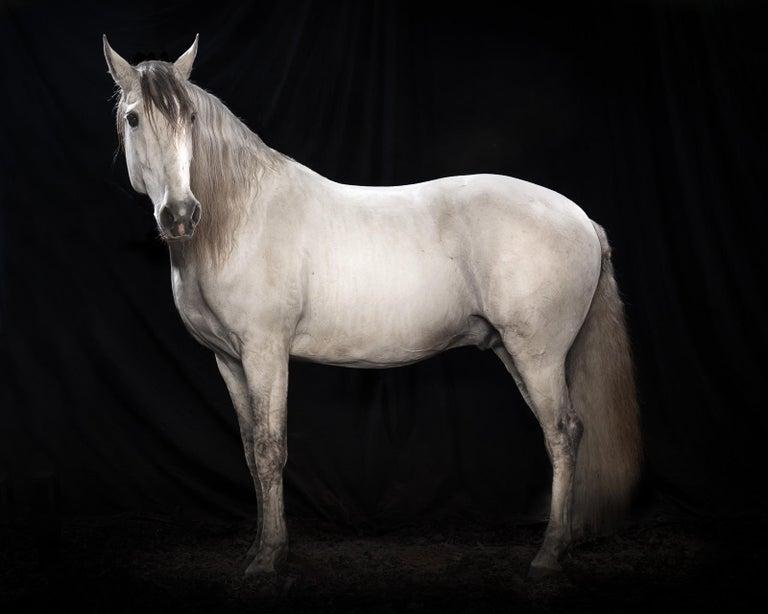 "Tim Platt Portrait Photograph - ""Ehpico d' Atela"" pure bred Lusitano stallion #5 - Signed limited edition print"