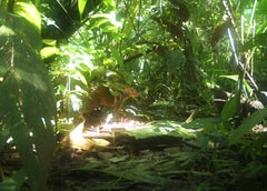 camera trap (Aguti) - 21st Century Color Landscape Photography Jungle Edition