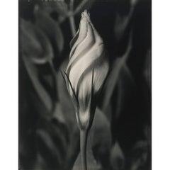 """Tom Baril """"Eustoma"""" Photograph"""