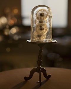 Blowsafe - Still life w/ dandelion puff balls enclosed in glass cloche dome