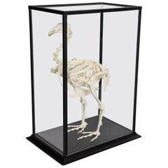 Turkey Skeleton in Glass Case