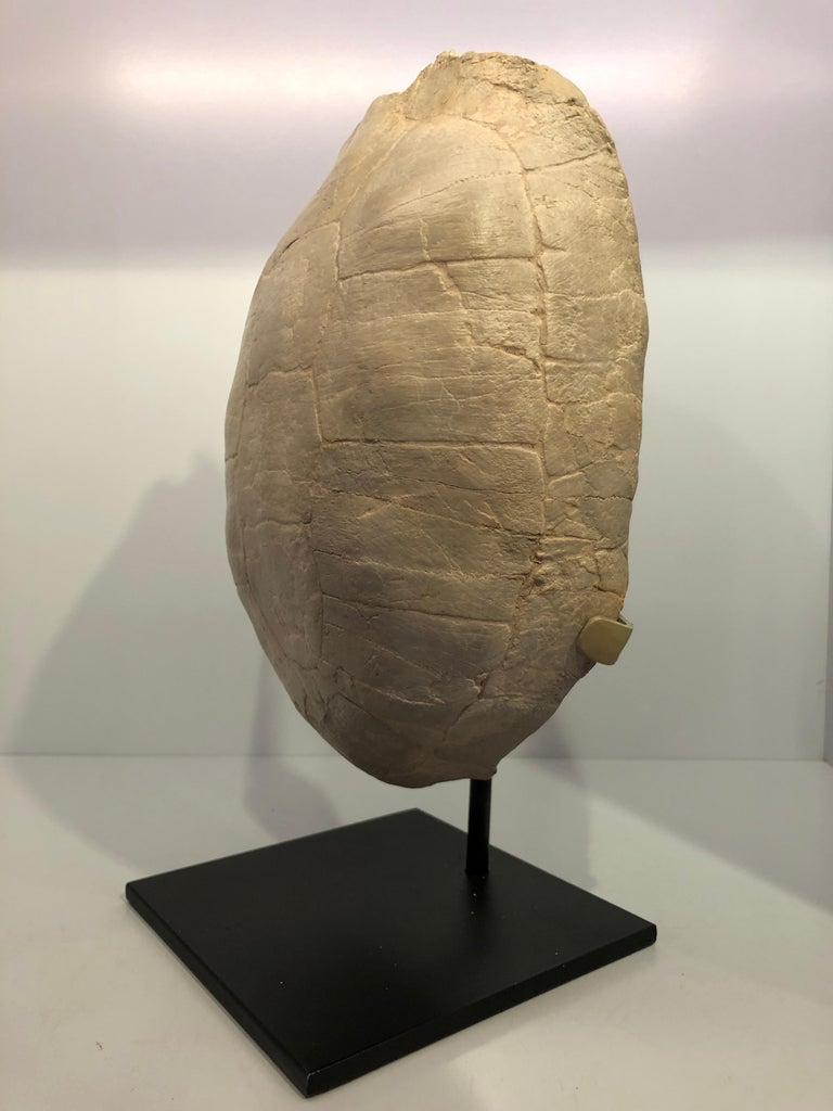 Prehistoric Turtle Fossil Stylemys Species from the Oligocene Era and Discovered in Dakota For Sale