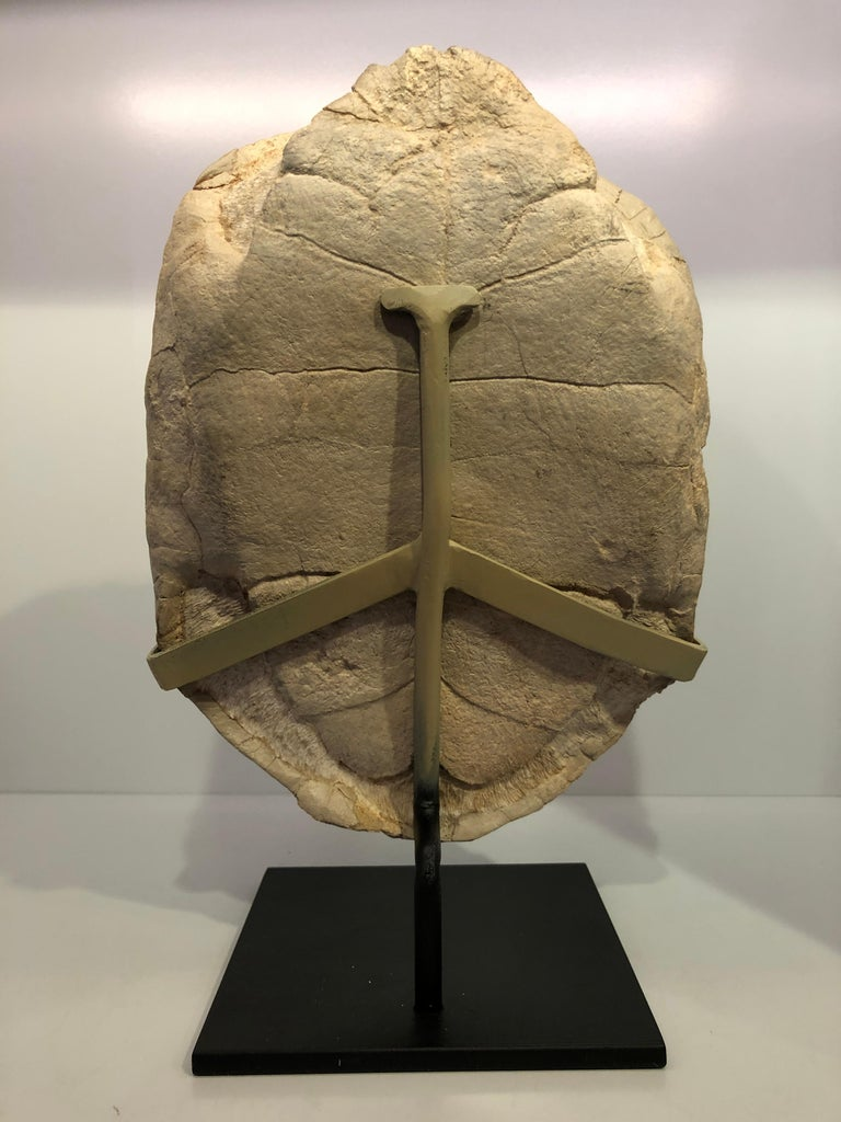 American Turtle Fossil Stylemys Species from the Oligocene Era and Discovered in Dakota For Sale