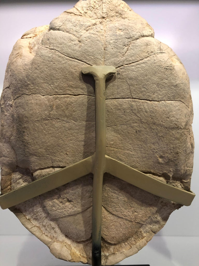 Turtle Fossil Stylemys Species from the Oligocene Era and Discovered in Dakota In Good Condition For Sale In New York, NY