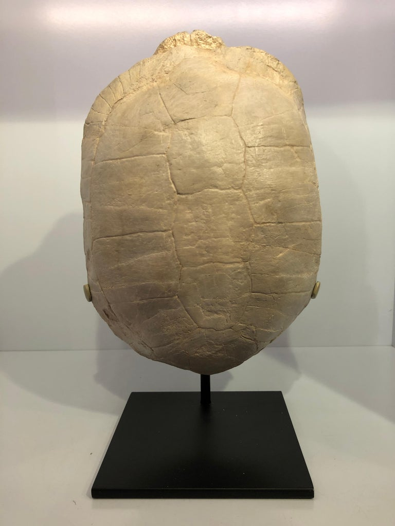 Turtle Fossil Stylemys Species from the Oligocene Era and Discovered in Dakota For Sale 1