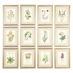 Twelve 18th Century Botanical Engravings by Georg Wolfgang Knorr