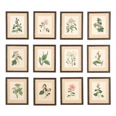 Twelve 18th Century Botanical Prints by Woodville