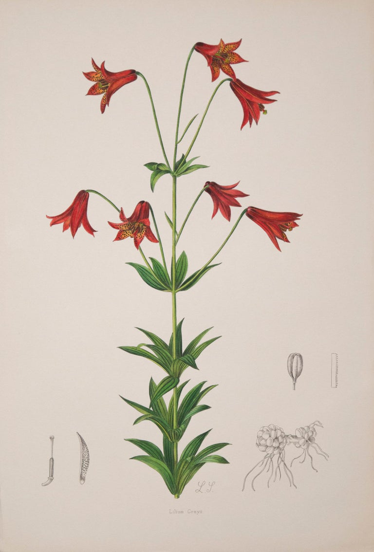 A rare set of twelve ofexceptional quality 19th century botanical prints from A Monograph of the Genus Lilium, London: Taylor and Francis, 1877-1880.  Lithographs with originalhand-colouring.  Why we like them Exquisitely hand-colored,