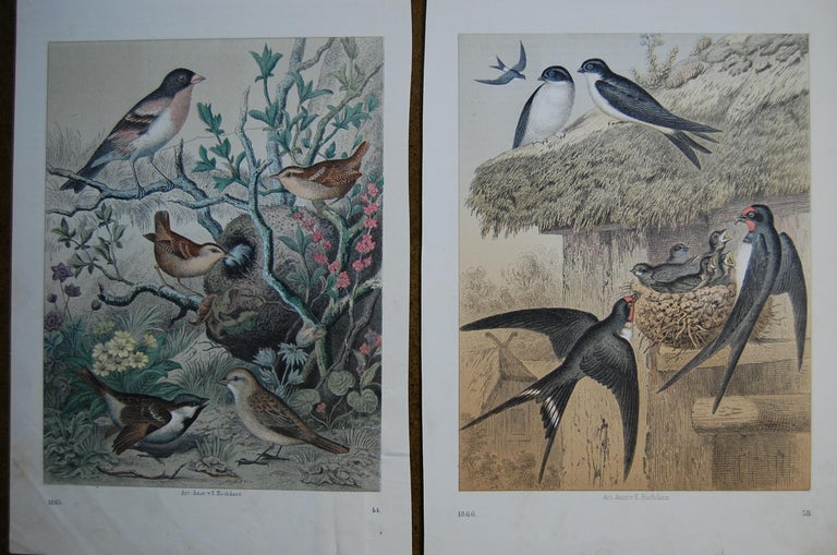 German Two Hand Colored 19th Century Prints Depicting European Bird Species For Sale