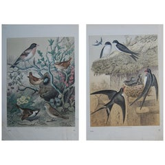 Two Hand Colored 19th Century Prints Depicting European Bird Species