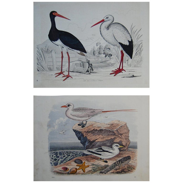 Two Hand Colored 19th Century Prints Depicting Water Bird Species For Sale