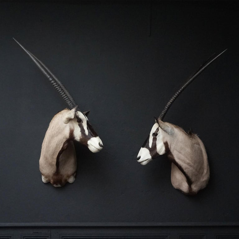 Very nicely mounted vintage set of South African Oryx Antelope's shoulder mounts, they are also known as Gemsbok or Oryx Gazella.