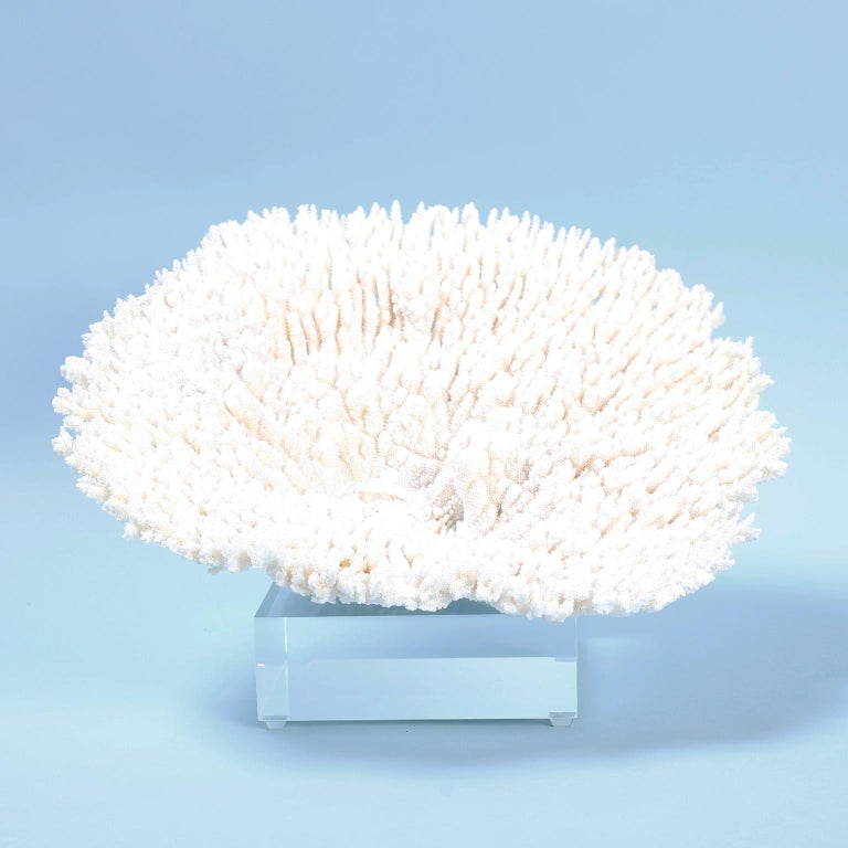 Solomon Islands Two White Table Coral Specimens on Lucite For Sale