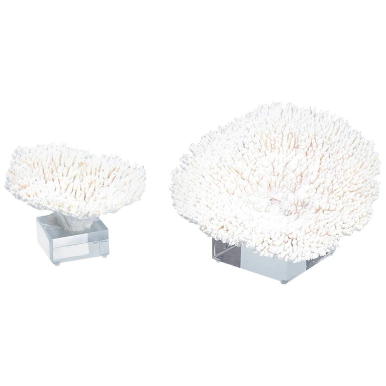 Two White Table Coral Specimens on Lucite For Sale