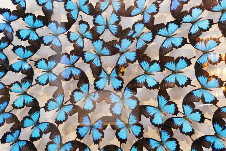Australian Ulysse Butterflies Glass Box Frame For Sale