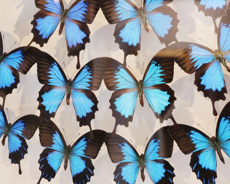 Ulysse Butterflies Glass Box Frame In New Condition For Sale In Paris, FR