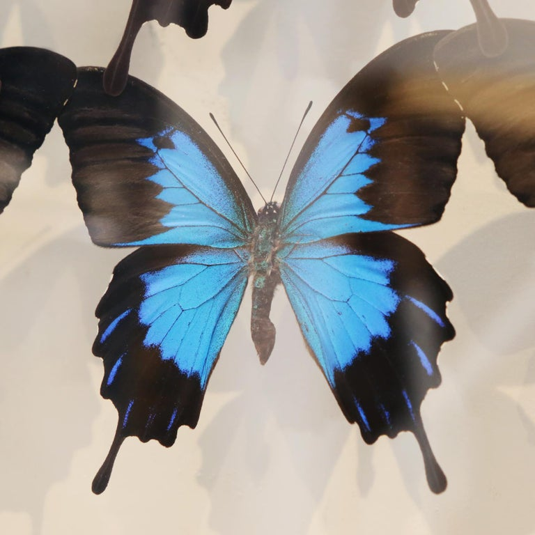 Ulysse Butterflies Glass Box Frame For Sale 1
