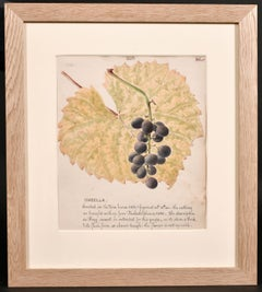FINE 1860'S BOTANNICAL WATERCOLOUR DRAWING - ISABELLA GRAPES ON THE VINE