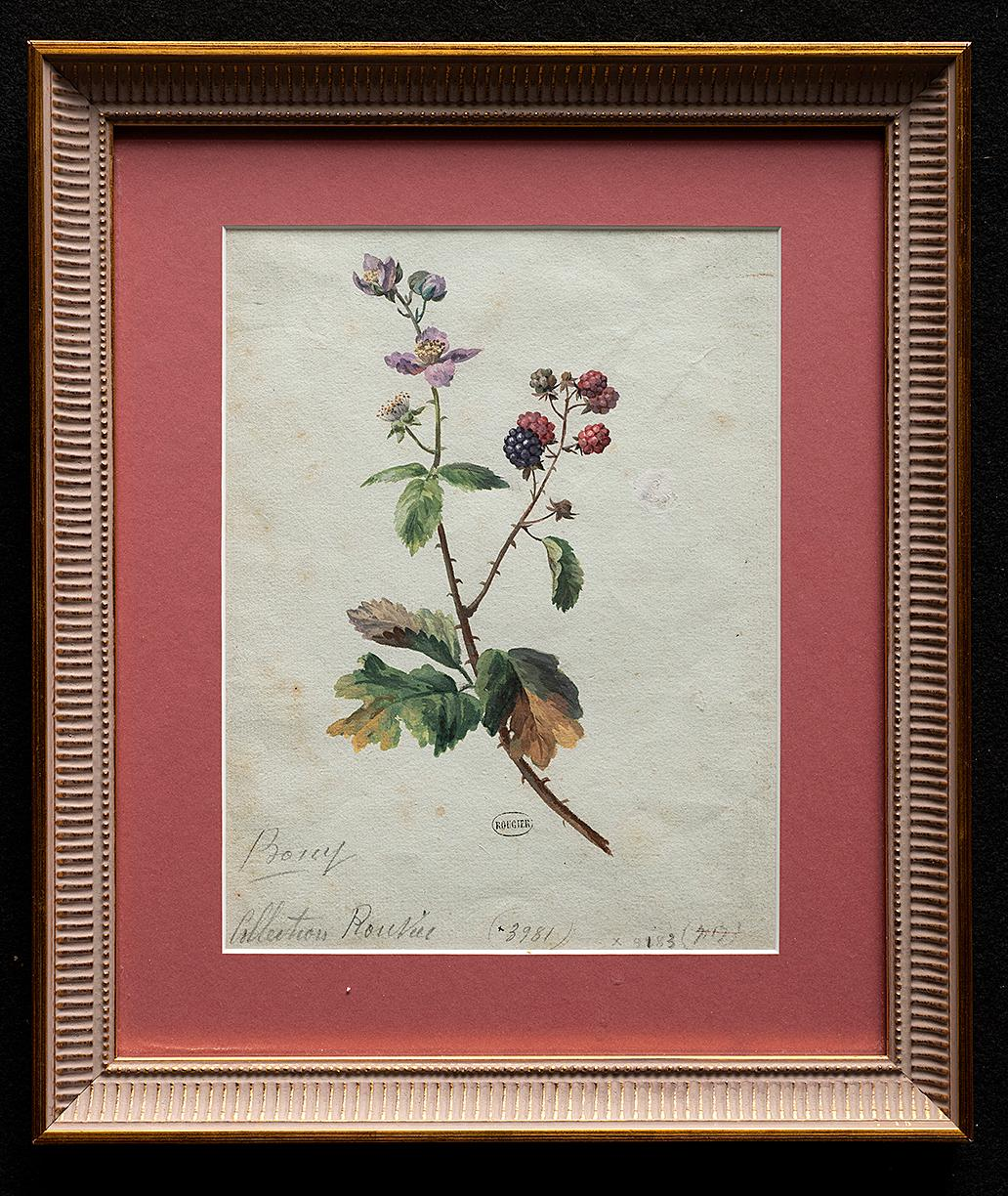 18 th Century French Botanical Watercolor Study of Raspberry Bramble