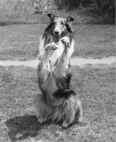 Lassie: the Most Celebrated Collie in Film Vintage Original Photograph