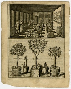 A conservatory with orange-, lemon- and figtrees - Engraving - 17th Century