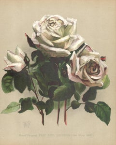A Victorian English White Rose botanical flower chromolithograph, c1880