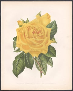 A Victorian English Yellow Rose botanical flower chromolithograph, c1880