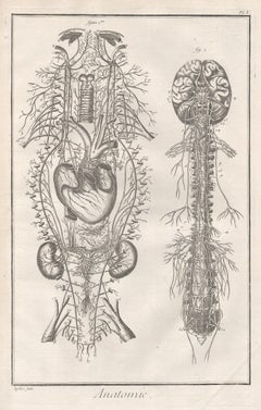 'Anatomie' - The Nervous System, French anatomy engraving, c1770