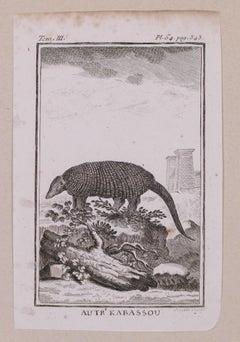 Armadillo - Original Etching - 19th Century