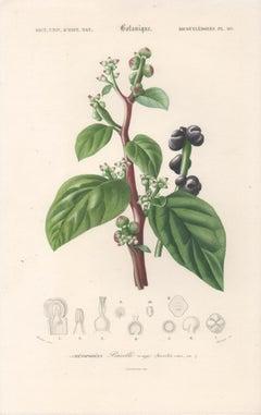 Baselle rouge (Basella rubra) (Malabar spinach) French botanical engraving, 1849