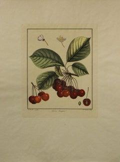 Cerise-Guigne-Botanical Print