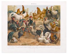 Chicken and Hens - Original Lithograph - Late 19th Century