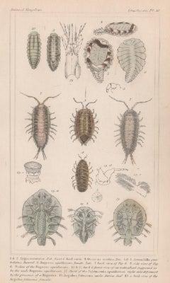 Crustaceans - bopyrus, antique English natural history engraving print, 1837