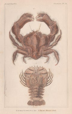Crustaceans - Crab & Lobster, English natural history engraving print, 1837