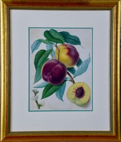 Hand Colored Engraving of a Braddick's Heirloom American Peach, Early 1800's